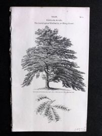 John Loudon 1838 Antique Botanical Tree Print. Horrid-Spined Gleditschia or Honey Locust